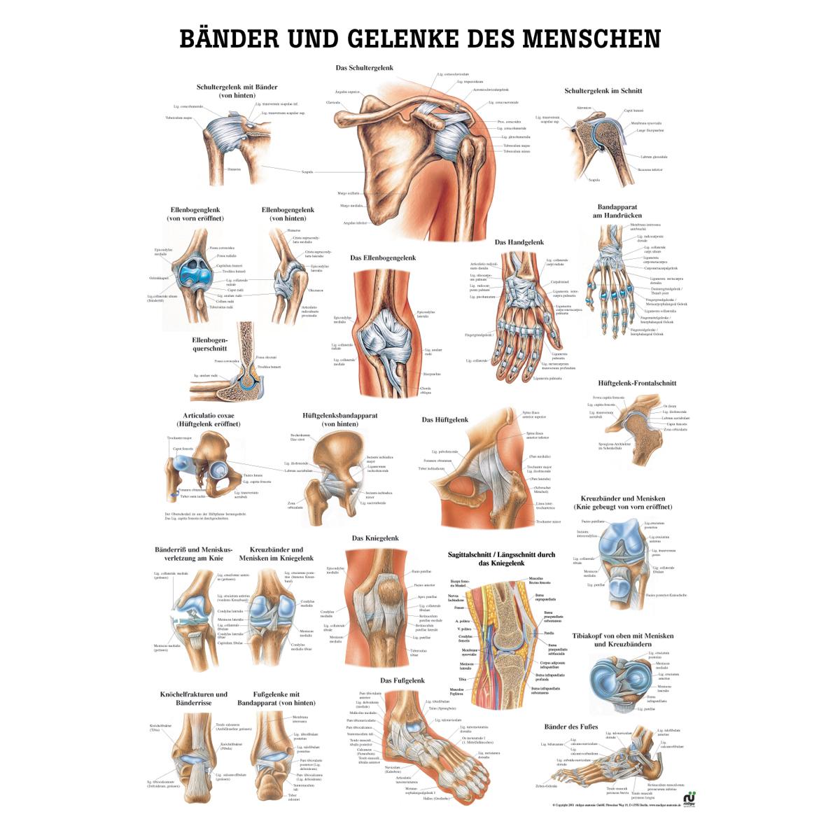 Muskulatur, Knochen und Skelett, Wissenladen.de