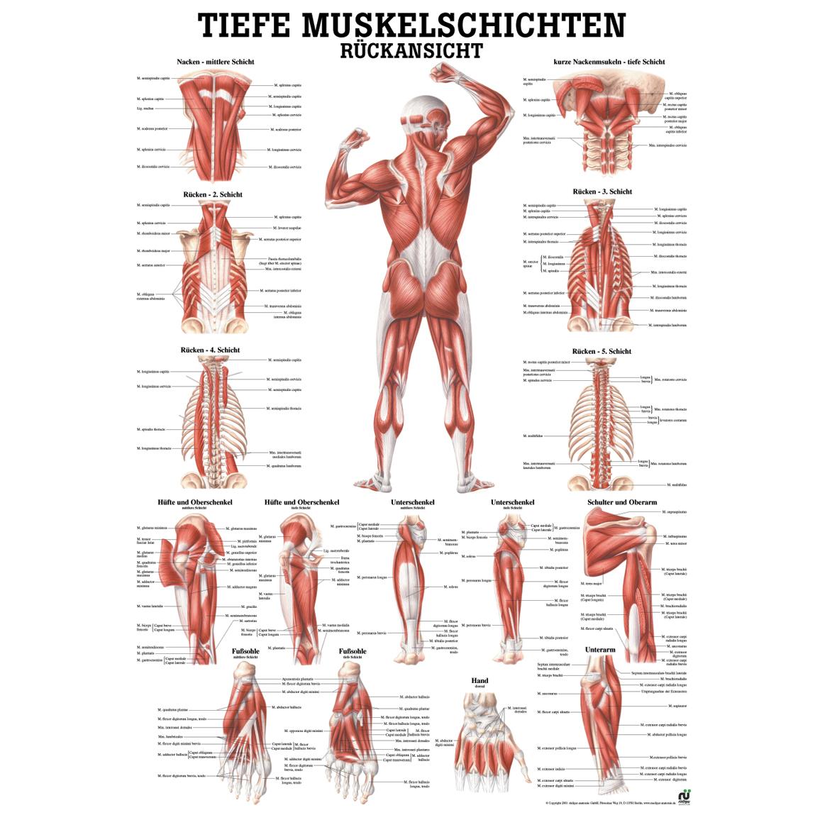 Erfreut Menschlicher Arm Anatomie & Muskel Ideen - Menschliche ...