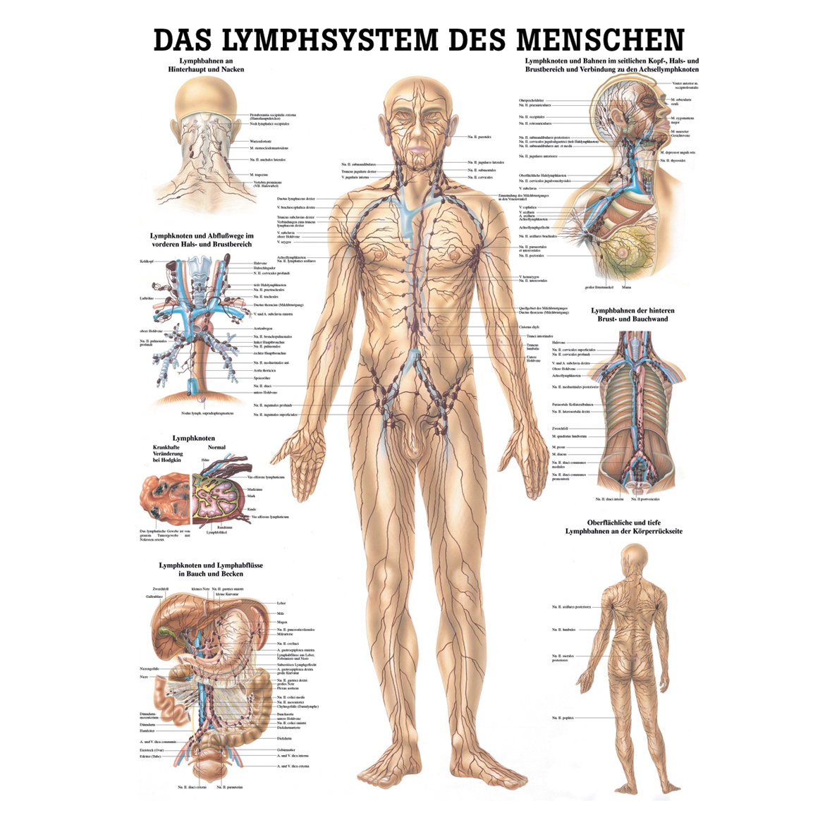 Anatomische Tafeln, Wissenladen.de