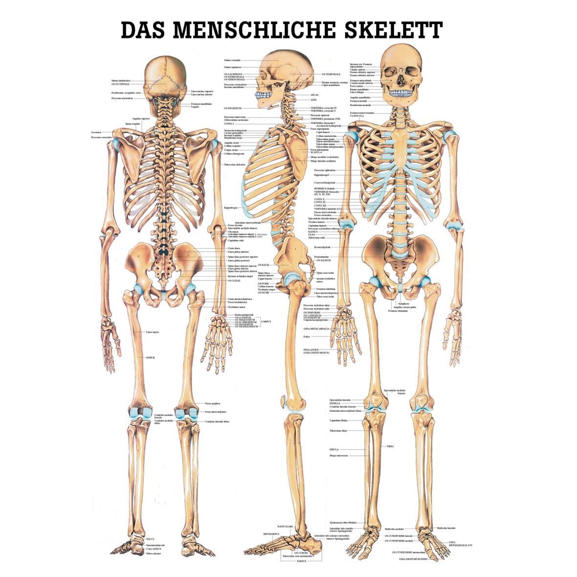 anatomische lehrtafel das menschliche skelett. Black Bedroom Furniture Sets. Home Design Ideas