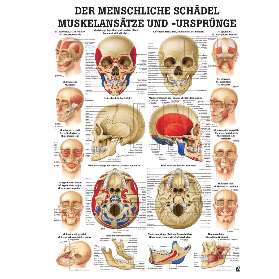 Fein Anatomie Menschlichen Kopf Fotos - Menschliche Anatomie Bilder ...