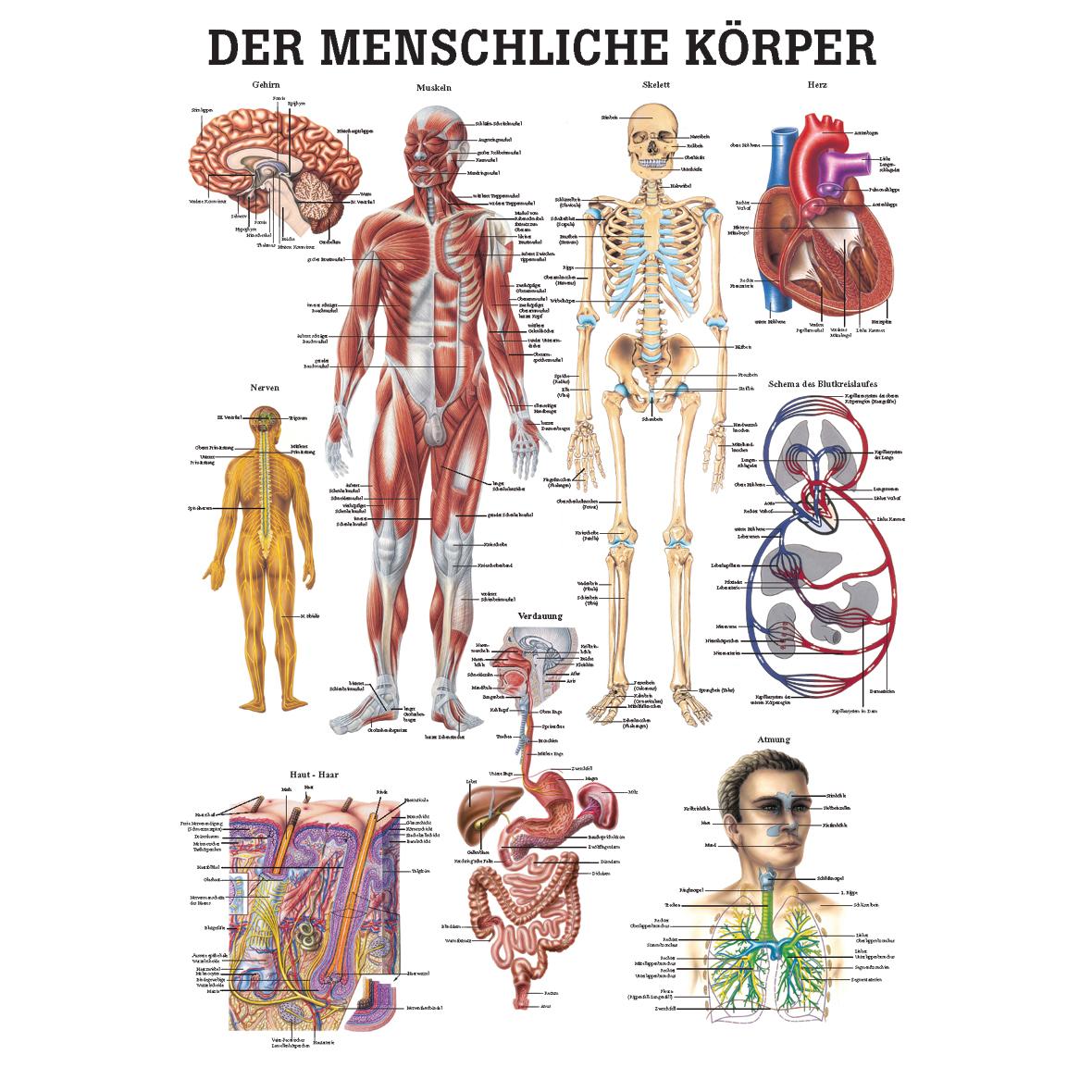 anatomische lehrtafel der menschliche k rper 34 x 24. Black Bedroom Furniture Sets. Home Design Ideas