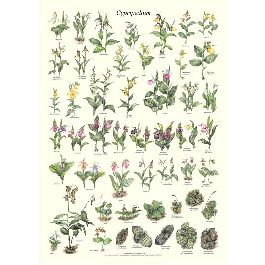 poster orchideen cypripedium. Black Bedroom Furniture Sets. Home Design Ideas