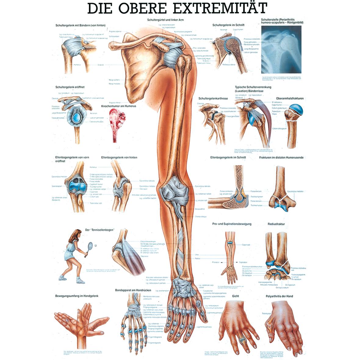 Berühmt Anatomie Der Arm Und Schulter Bilder - Anatomie Von ...