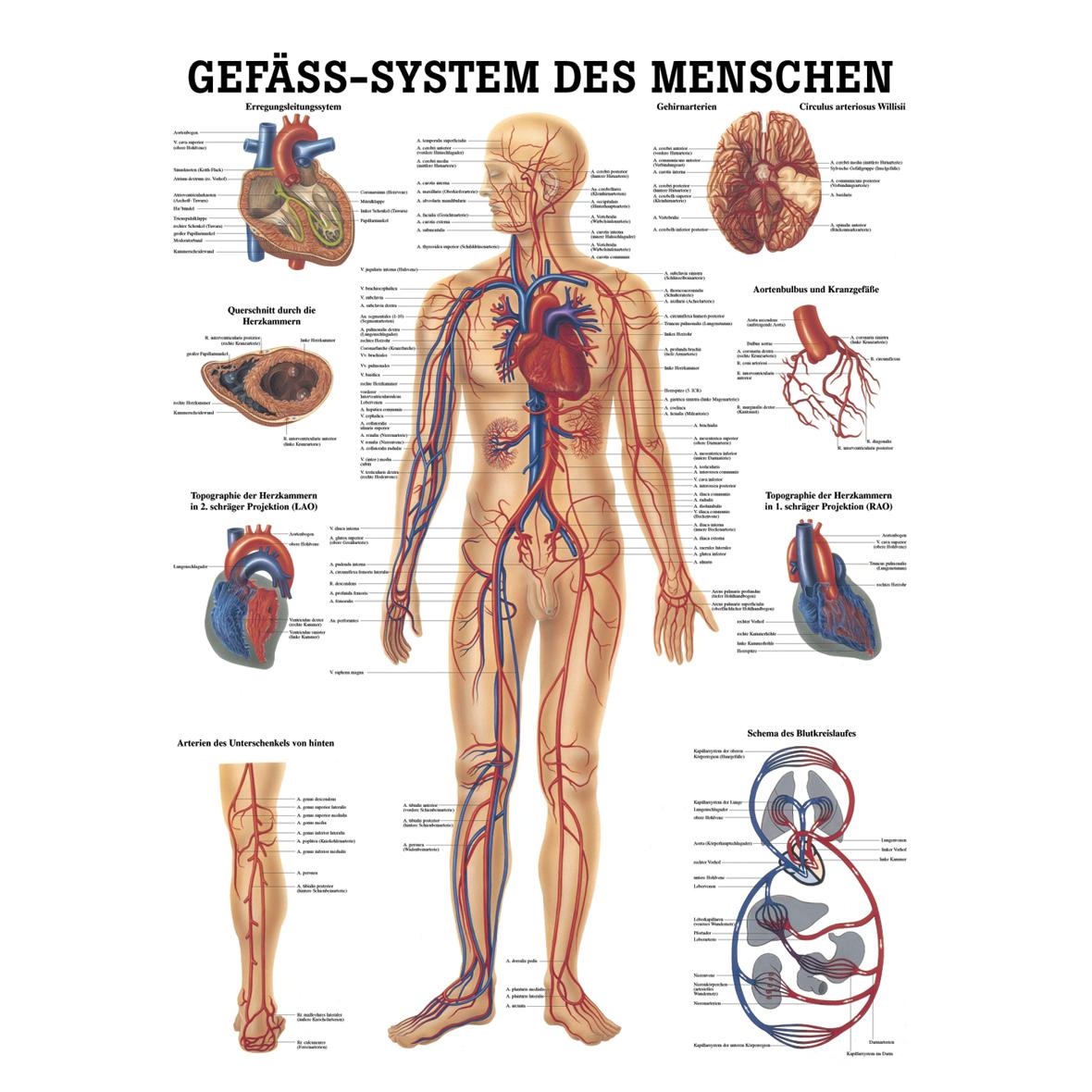 Wunderbar Menschlicher Körper Anatomie Bilder Zeitgenössisch ...
