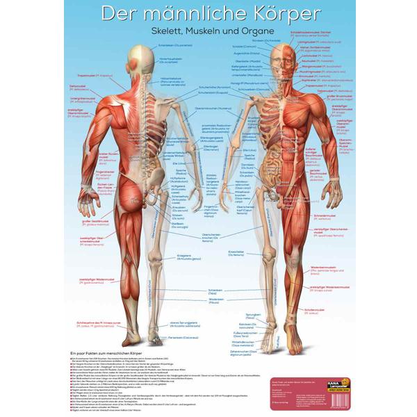 Lernposter Der männliche Körper, Wissenladen.de